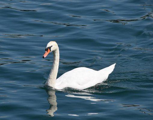 Swan in Como Lake cigno nel Lago di Como